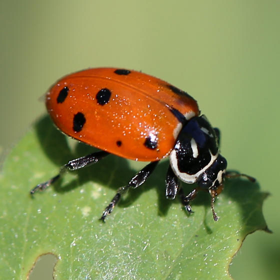Coccinellidae - Hippodamia