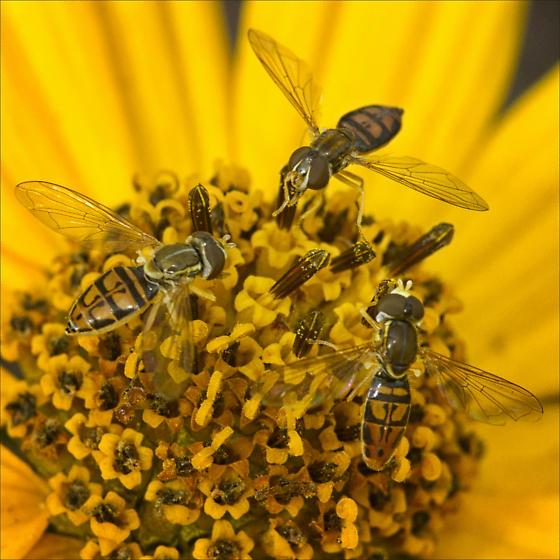 Syrphid Fly - (Toxomerus marginatus) or (Toxomerus geminates) ID Please  - Toxomerus marginatus