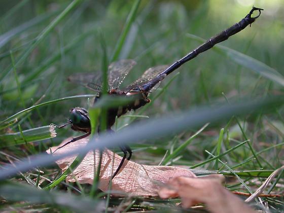 Clamp-tipped Emerald - Male - Somatochlora tenebrosa - male