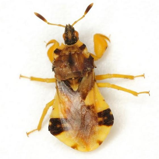 Phymata