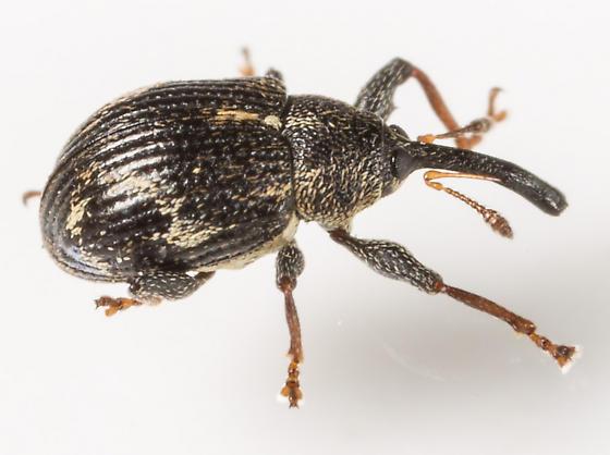 Beetle - Anthonomus lecontei