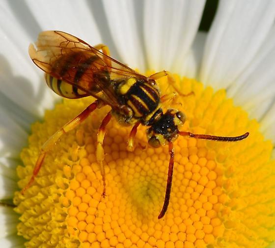 yellow Nomada - Nomada - female