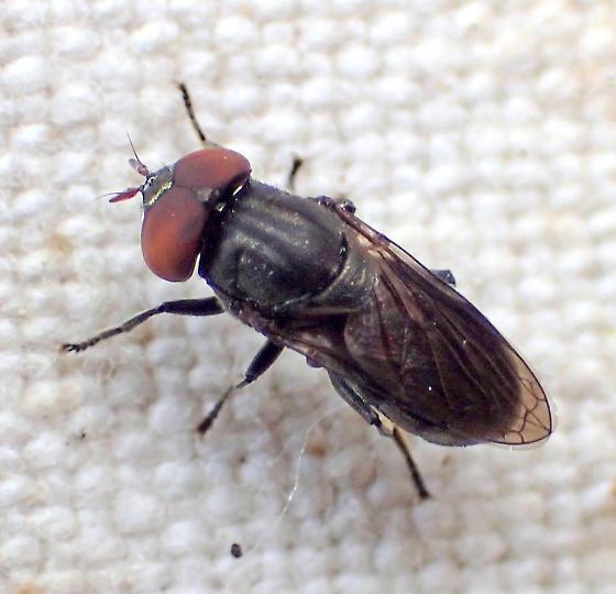 Dark robust fly - maybe Eumerus? - Orthonevra