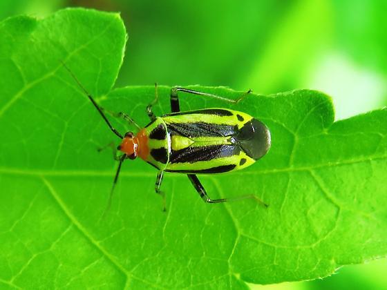 Id help needed - bug - Poecilocapsus lineatus
