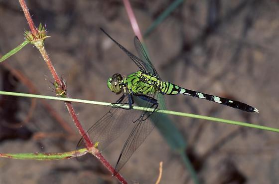 Eastern Pondhawk - Erythemis simplicicollis - male