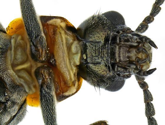 Melyridae