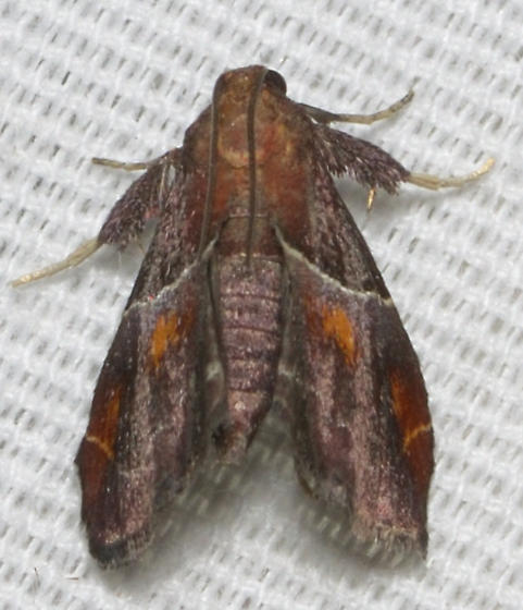 pyralid - Penthesilea sacculalis