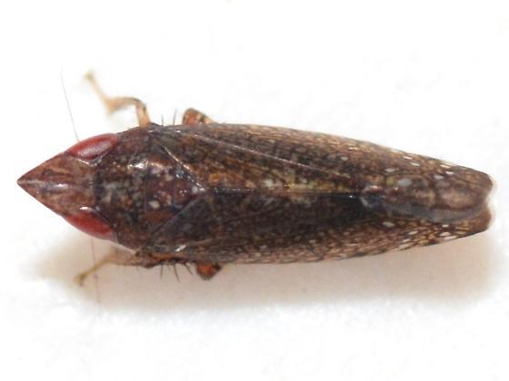 Scaphytopius - Scaphytopius rubellus - male
