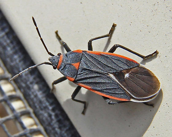 Seed Bug ? - Melacoryphus lateralis