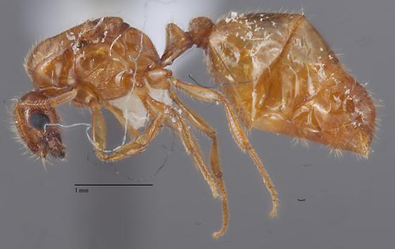 Solenopsis Alate - Solenopsis