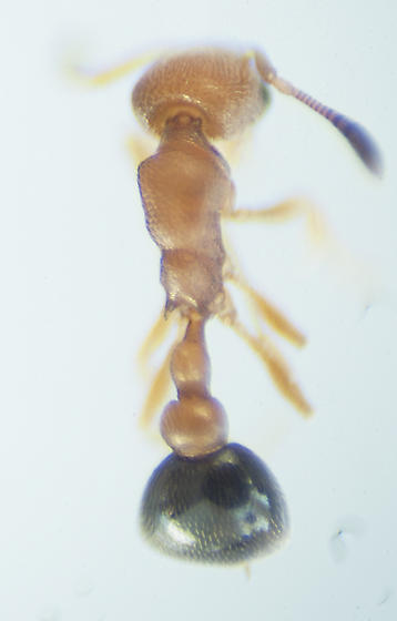 Unknown Ant - Cardiocondyla obscurior - female