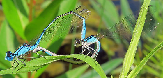 Azure Bluets - Enallagma aspersum - male - female