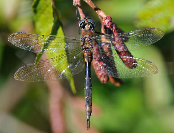 Brush-tipped Emerald in the Canadian Maritimes: a new late record? - Somatochlora walshii - female