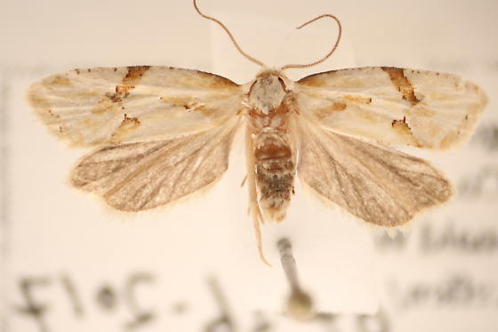 Aethes sp. - Aethes patricia - male