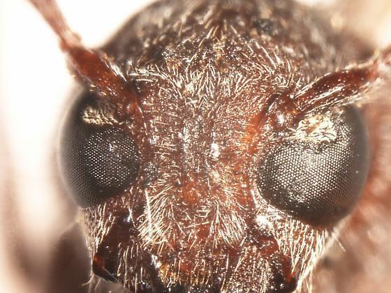 Cerambycinae in wood wasp trap - Xylotrechus sagittatus