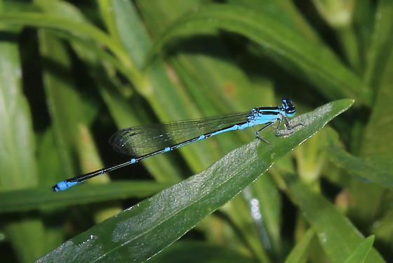Stream Bluet - Enallagma exsulans - male