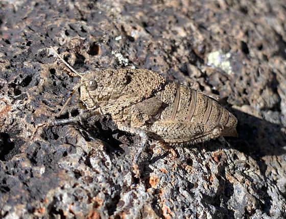 Phrynotettix tshivavensis - female