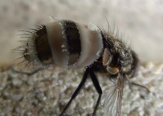 Fly: Parasitic Fungi