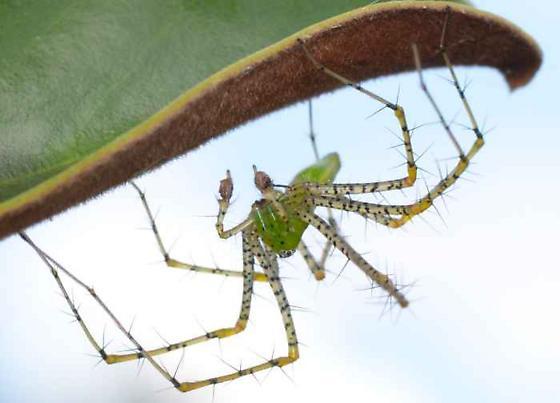 Green Lynx Spider (Peucetia viridans)? - Peucetia viridans - male