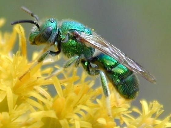 ?halictid - Augochloropsis metallica - male