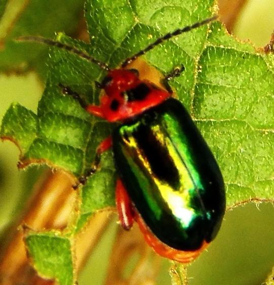 Beetle ID - Kuschelina gibbitarsa
