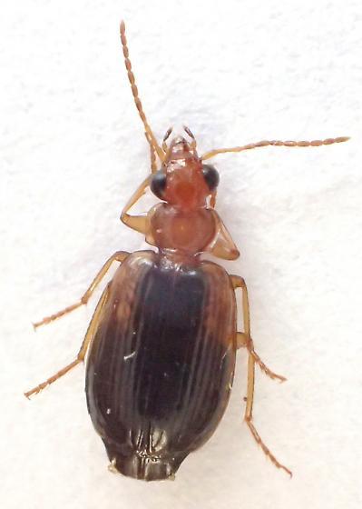 5 mm Lebia scapula  or rather Lebia cymindoides Bates? - Lebia