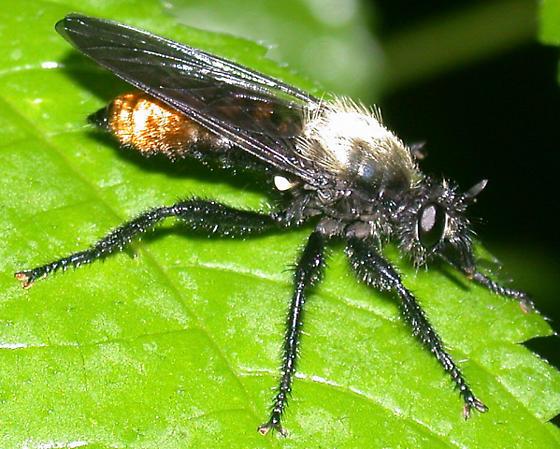 Fuzzy robber fly - Laphria altitudinum - female