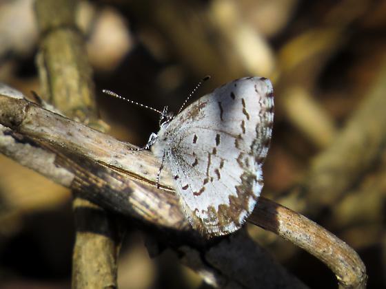 spring azure?? - Celastrina lucia