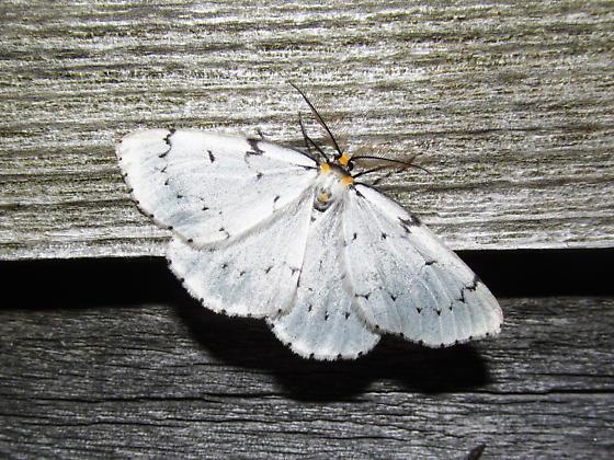 Geometridae - Cingilia catenaria - male