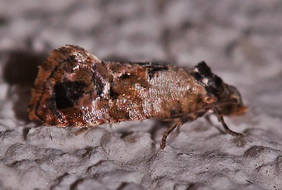 Cochylis hoffmanana