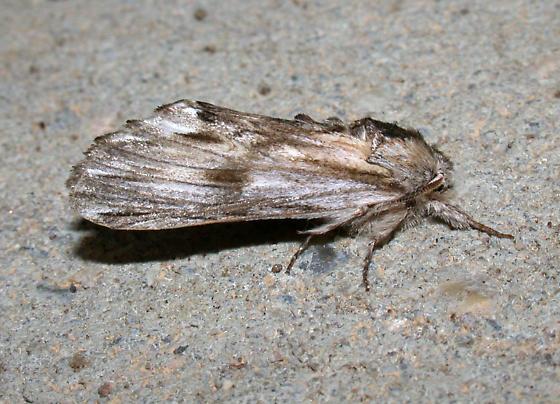 White-streaked Prominent - Oligocentria lignicolor