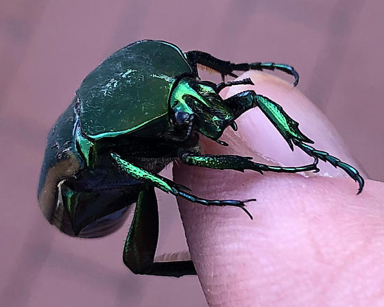 Green Fig Beetle - Cotinis mutabilis