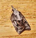 Tufted apple bud moth - Platynota idaeusalis - female