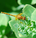 Female White-faced Meadowhawk? - Sympetrum