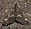 Moth - Pyrausta? - Pyrausta nicalis
