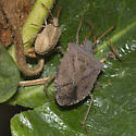Stink Bug with nymph - Euschistus conspersus