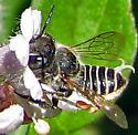 Megachilid - Megachile - female