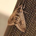 unknown moth - Manduca quinquemaculatus