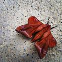 red moth with very convincing leaf shape - Paonias astylus