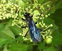 wasp - Sphex pensylvanicus