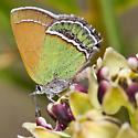 Sandia Hairstreak - Callophrys mcfarlandi