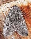 Noctuidae - Raphia frater - female