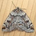 Geometridae: Spodolepis danbyi - Spodolepis danbyi
