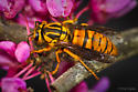 Vespula sp, ID please - Vespula squamosa - female