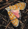 Bella Moth - Utetheisa ornatrix