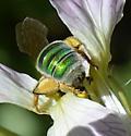 Cosumnes bee 3 - Agapostemon - Agapostemon - female