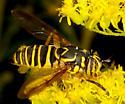Spilomyia longicornis ? - Spilomyia longicornis