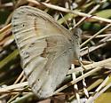 Coenonympha tullia californica - Coenonympha tullia