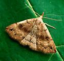 Eumelusalis Owlet - Phalaenostola eumelusalis - female