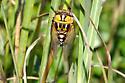 Bush Cicada - Megatibicen dorsatus